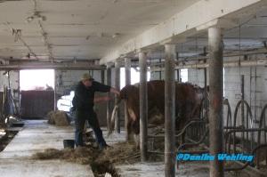 nate pulling calf