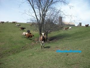 Running cows
